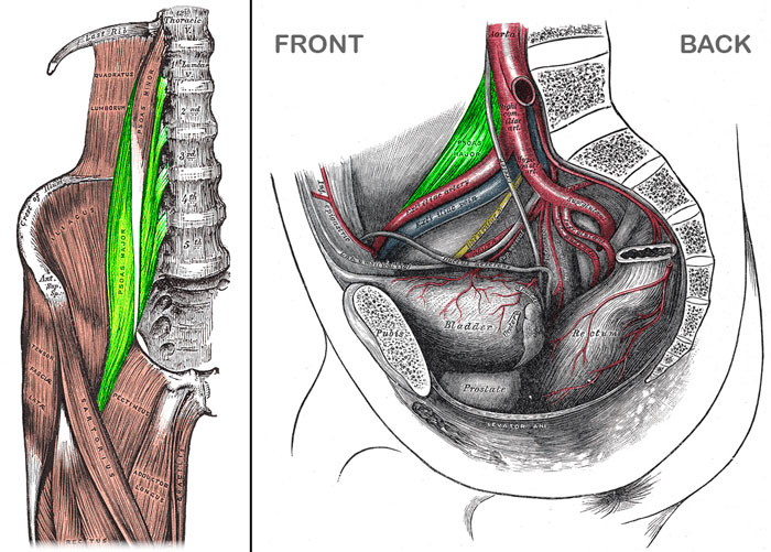 Psoas major is highlighted in green