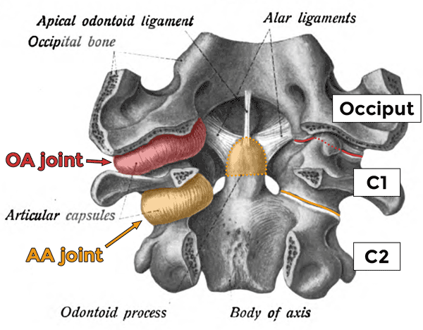 The two occipitoatlantial (OA) and three atlantoaxial (AA) joints