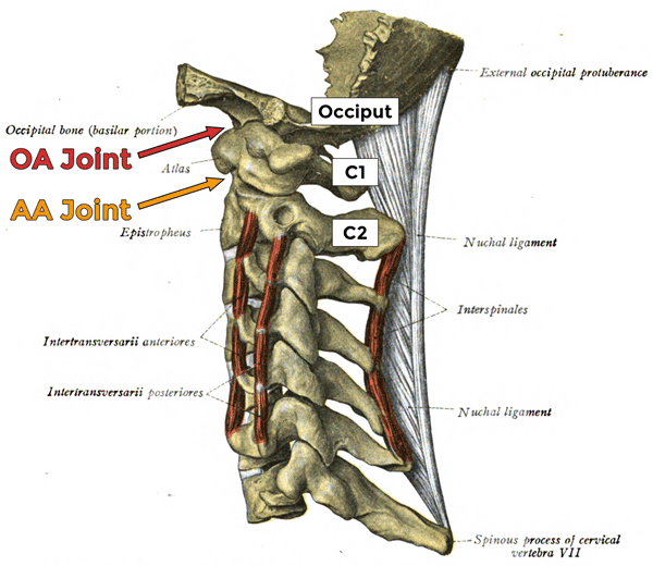 Left side view of the cervical spine