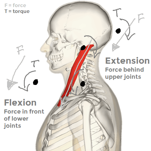 Sagittal plane torques of the sternocleidomastoid. This muscle produces extension of the upper cervical spine and flexion of the lower cervical spine.