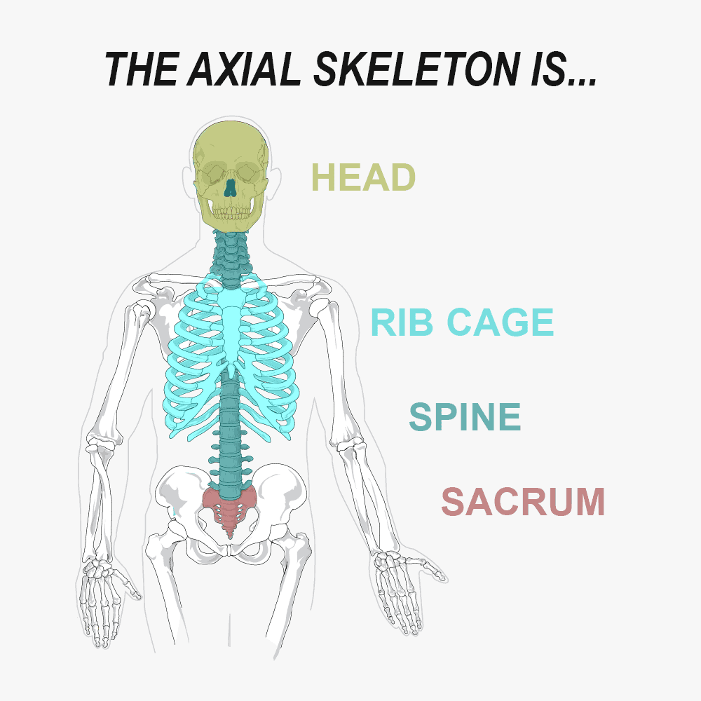 The Axial Skeleton is the head, spine, sacrum, and rib cage