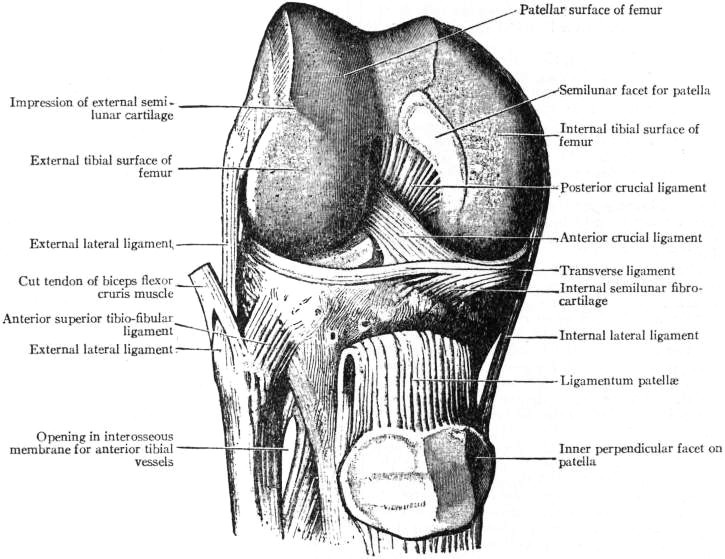 Dissection of the knee joint, viewed from the front; muscles absent; quadriceps tendon cut and reflected down