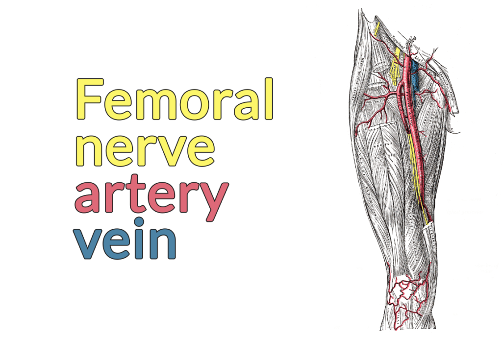 Drawing of the anterior thigh. The sartorius and rectus femoris are cut and removed, exposing the femoral nerve, artery, and vein