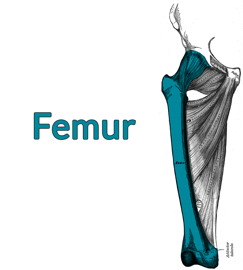 Drawing of the pelvic bone, femur, and deep adductor musculature. The femur is highlighted