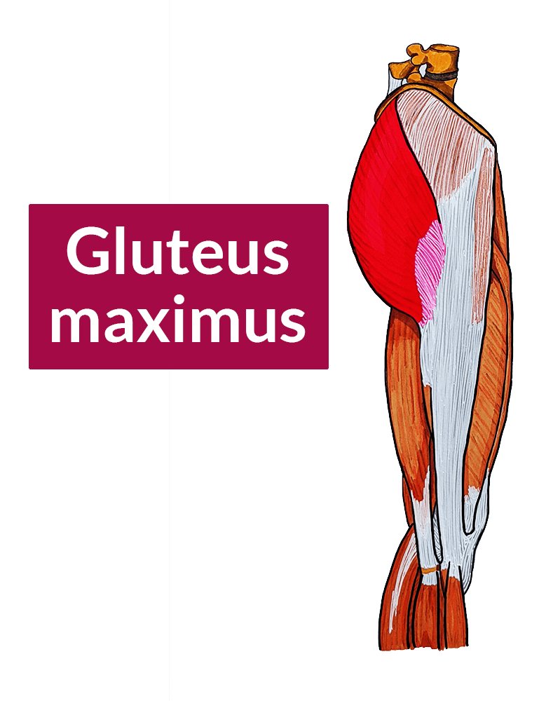 The gluteus maximus highlighted in a drawing of a lateral view of the thigh. The gluteus maximus inserts on the iliotibial band (among other places).
