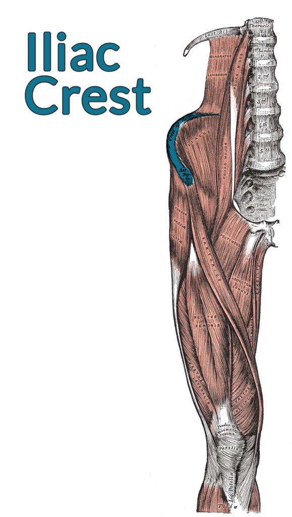 Drawing of the right lumbar spine down to the top of the tibia, muscles included. The iliac crest is highlighted