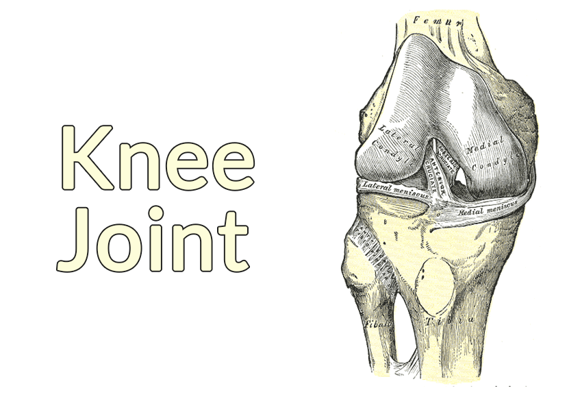 Drawing of the flexed knee joint. The patella is absent.