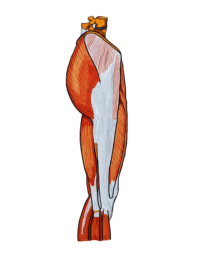 A drawing of a lateral view of the human thigh