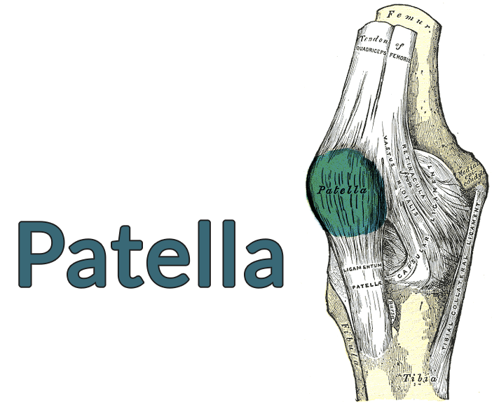 Drawing of the knee with the patella highlighted