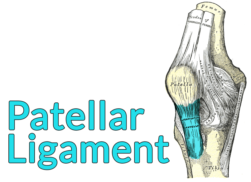 Drawing of the knee with the patellar ligament highlighted