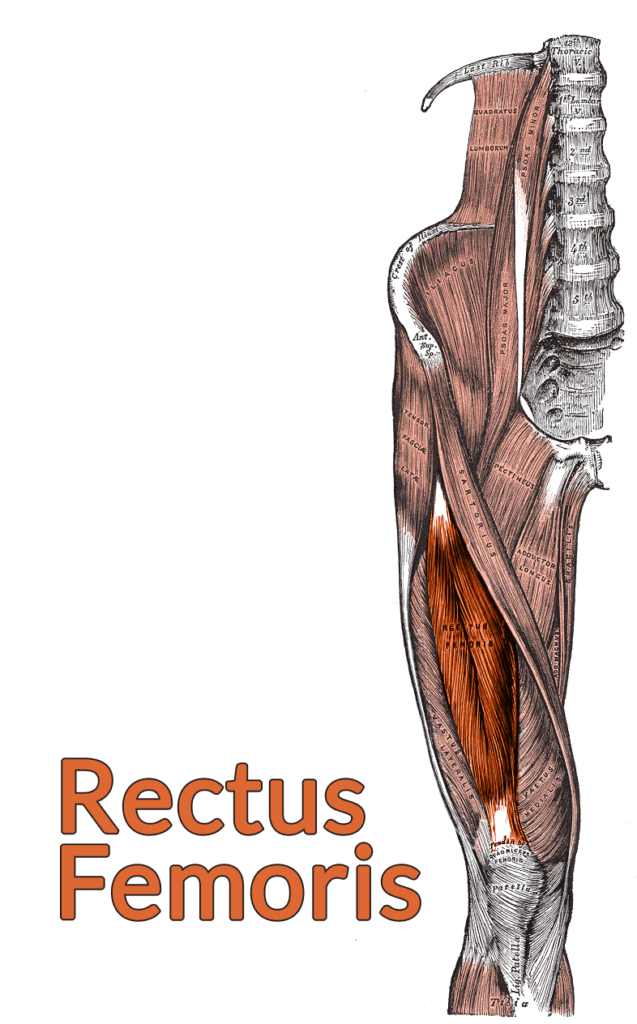 Drawing of the lumbar spine down to the top of the tibia with the rectus femoris highlighted