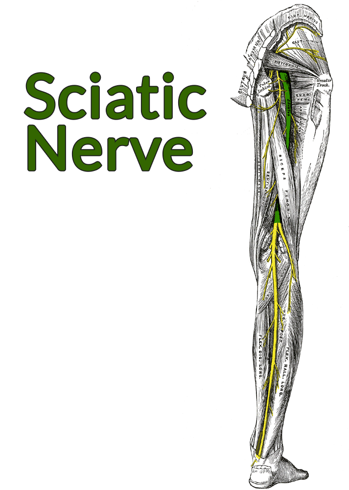 Drawing of the posterior thigh and leg, gluteus maximus cut and removed, showing a highlighted sciatic nerve