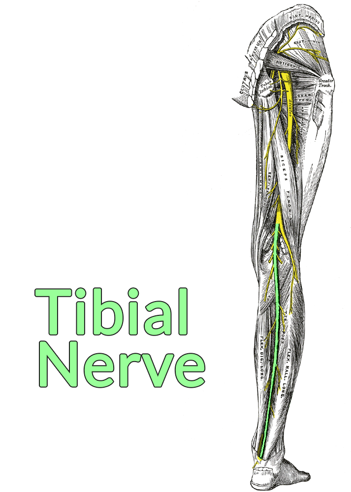 Drawing of the posterior thigh and leg, gluteus maximus cut and removed, showing the sciatic nerve. The common fibular nerve is highlighted, showing how it branches off of the sciatic nerve after passing by the biceps femoris