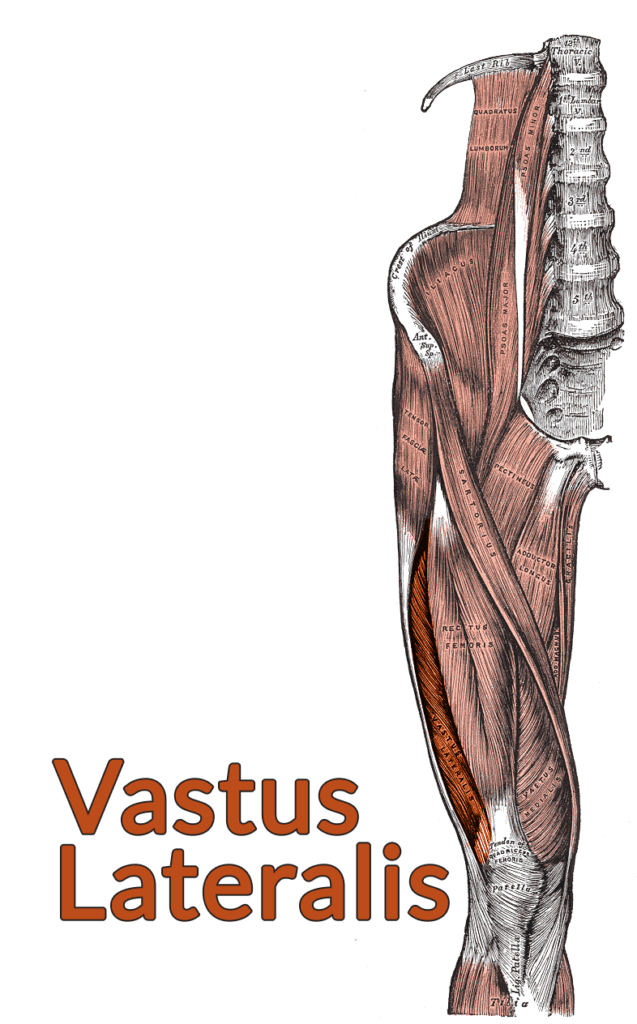 Drawing of the lumbar spine down to the top of the tibia with the vastus lateralis highlighted
