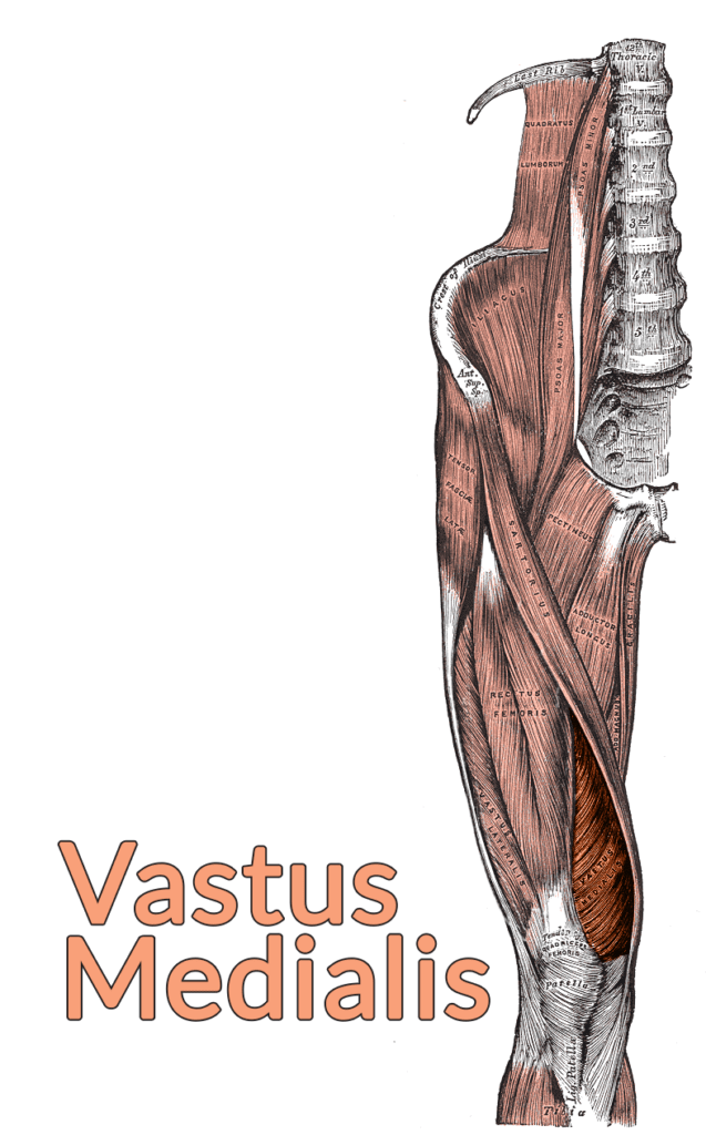 Drawing of the lumbar spine down to the top of the tibia with the vastus medialis highlighted